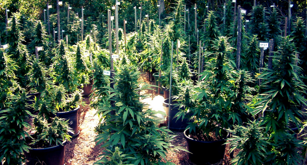 How long time takes to grow cannabis