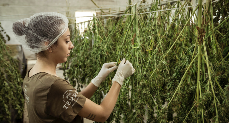Why CBD is being investigated as a potential cancer cure